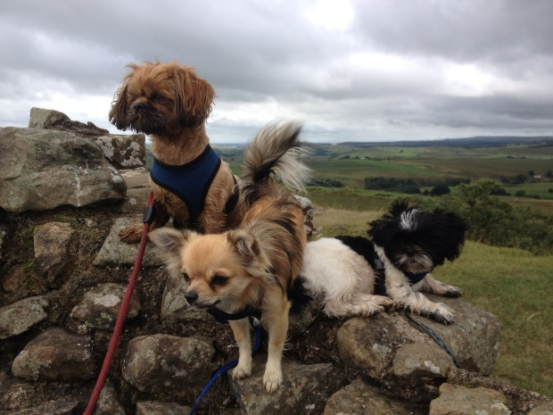 CHIHUAHUAS AND SHIH TZUS WALKING THE WEST HIGHLAND WAY FOR NOTODOGMEAT